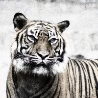 Tiger 4 by Globaludodesign
