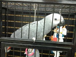 gray parrot by kyupol