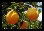 Fresh Oranges by quanitz