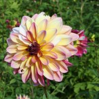 awesome dahlias 10 by ingeline-art