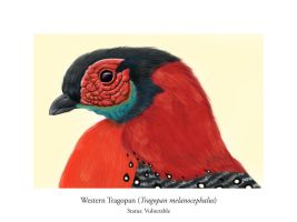 EA Project 6: Western Tragopan by meihua