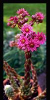 Pink cactus by DrivenSphere
