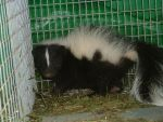 Baby Skunk by Sin-eater