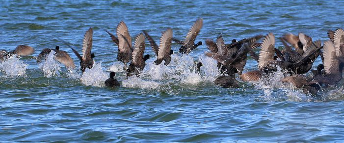 A splash of coots by MaresaSinclair