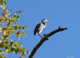 Perched Heron by WilsonPhotos