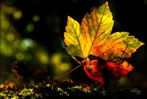 Maple Leaf 1 by AStoKo
