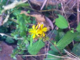 Indian WInter Tiny Flower 7 by SRUJAL