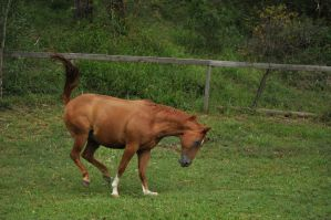 Quarter Horse Running and Bucking 1 by naturalhorses
