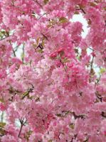 Lots of Cherry Blossoms by shamira-g