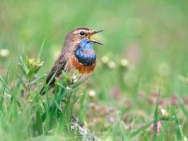 Bluethroat by Sergey-Ryzhkov