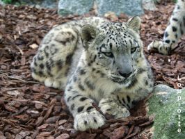 Snow leopard by Loupiotte1203