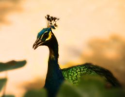 Peacock by helios1027