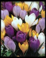 Crocus colour by oOFloraNatureOo