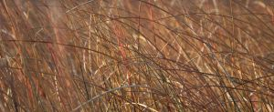 Beach Grass by RachelDS