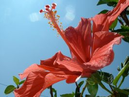 Hibiscus 2 by alxboss