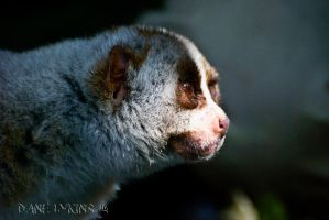 Slow Loris by Macropus-Rufus
