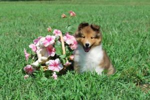 Sheltie Puppy by Blueeyes0001
