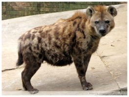 Spotted Hyena by Q-tipper