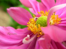 Heart in the petals by Rounette