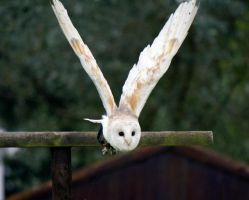 Barn Owl in flight by Steve-FraserUK