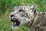 Snow Leopard 20150713-2 by FurLined