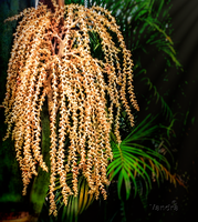 Palm Tree Blossom by vanndra