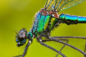 banded demoiselle by MartinAmm