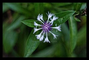 Purple and White Spider Flower by Lion6255
