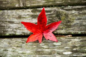 Red leaf... by Sanbernar