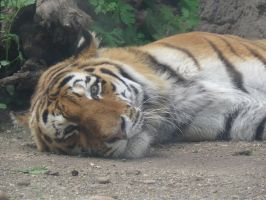 I tired Mr. Tiger by DLexOWd