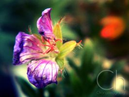 Flower by Champineography