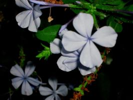 Periwinkle Flower at dusk by iluvvanessa