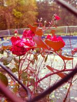 Renaissance Rose by LAPoetry-n-Photo