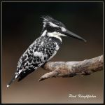 Monochromatic Colour - Pied Kingfisher by Jamie-MacArthur