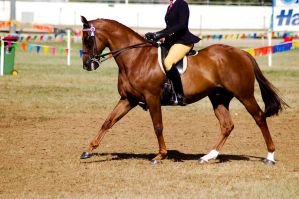 Show chestnut cantr ridden by Chunga-Stock