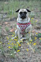 Pug Among the Flowers by anill11