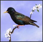 Starling by Bumblewales