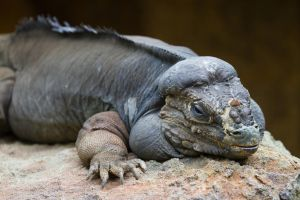 Rhinoceros Iguana by HeyNay