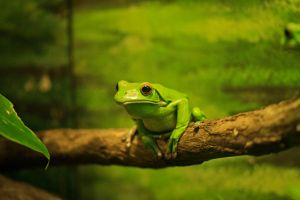 Green Tree Frog by Coraloralyn