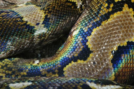 iridecent snakeskin (reticulated python) by BetaDraconis