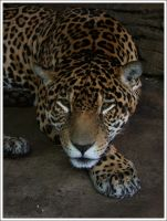 Junior, WPZ Jaguar by oOBrieOo