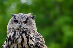 eagle owl 001 by werram