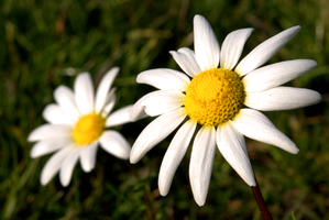 Daisies by psilocybica