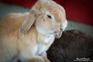 Lapin Belier001 by BenoitPhotographie
