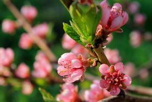 Peach blossom by 86Botond