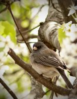 Junco by Amatuer-Pics-By-Me