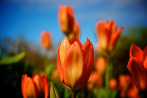 Tulip by Shzphoto