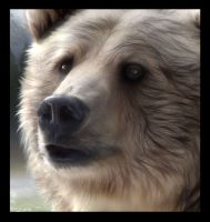 Spirit Bear Close Up by Tammara