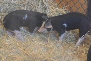 Topsfield Fair, Little Piglets In the Pen by Miss-Tbones