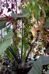 Aroid And Nepenthes In Kew's Victorian Lily House by aegiandyad